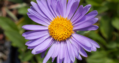 MedO-Wildflower-Plug